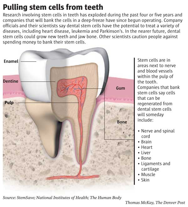 These dental stem cells which are adult stem cells have the ability of ...