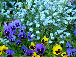 Pansies And Forget-Me-Nots
