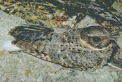 Caprimulgus badius