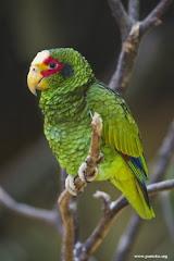 Amazona xantholora