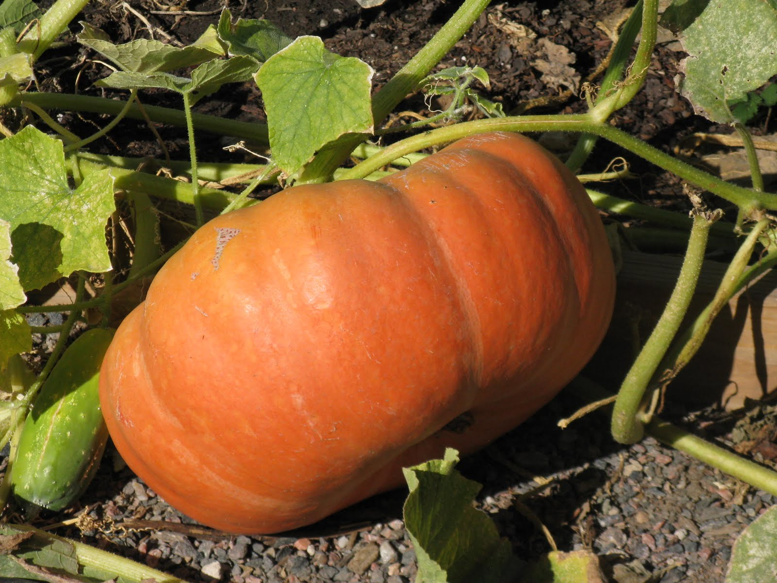 Cut The Stem With Hand Pruners To Preserve Health Solid Stems Provide An Effective Barrier Rot Use Care In Moving Pumpkins Avoid Nicks
