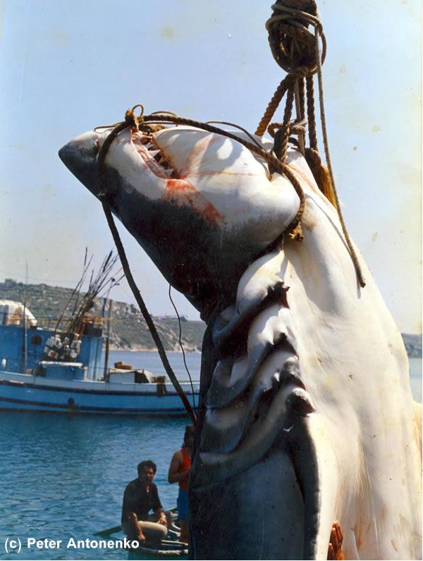 Australia broadbill swordfish from the shore a world for K9 fishing line