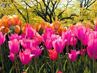 tulip Hussies!