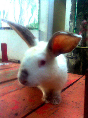 peternakan kelinci