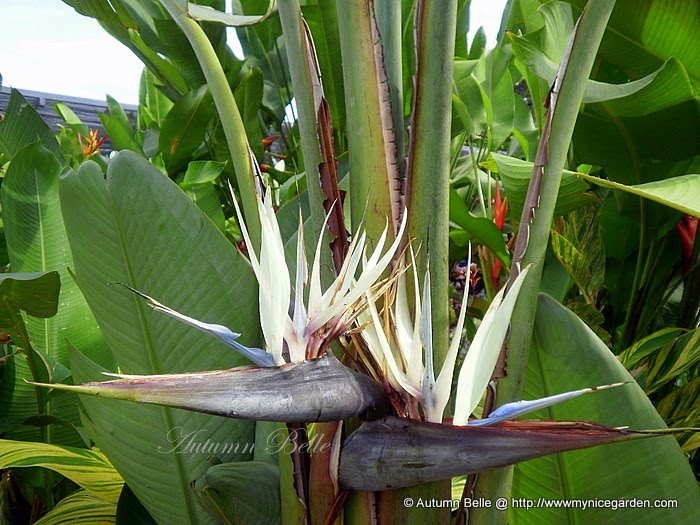 My tropical plants finder strelitzia nicolai bird of paradise flower strelitzia nicolai bird of paradise flower mightylinksfo