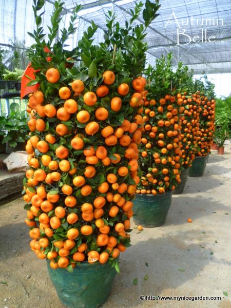Orange fruit  Wikipedia