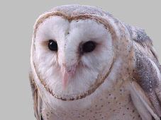 ΜΠΟΥΦΟΣ -Tyto alba -Barn Qwl