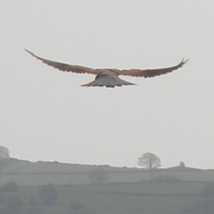 Kestrel, Falco tinnunculus