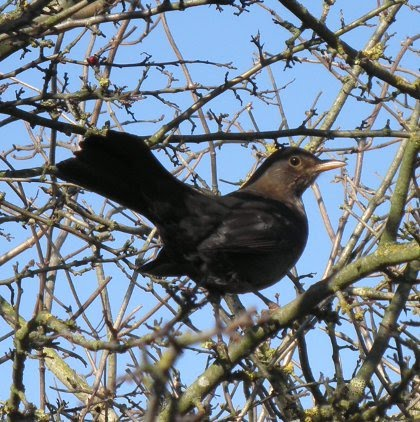 common blackbird, Turdus merula