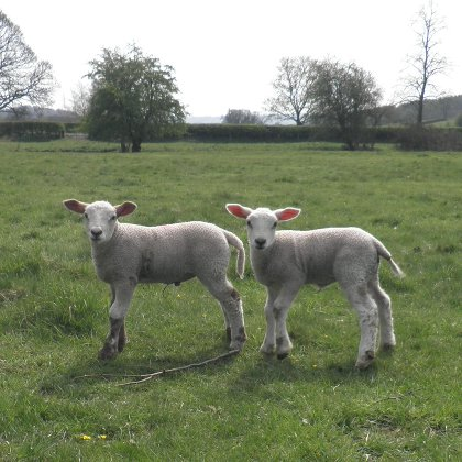 lambs near Carsington Water