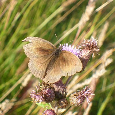unknown brown butterfly