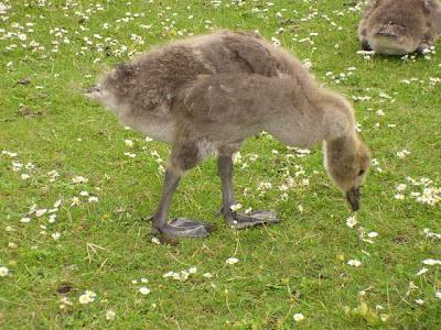 gosling, goose