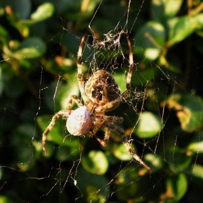 araneus diadematus, garden spider, arachnid