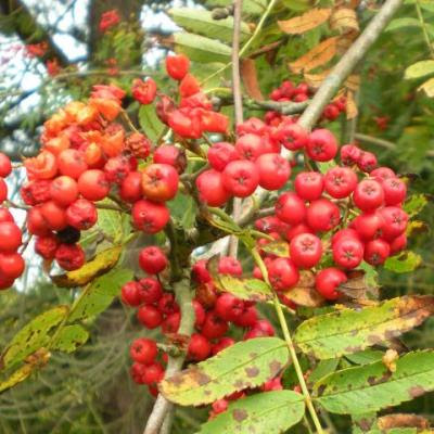 rowan berries, red, Sorbus aucuparia, tree