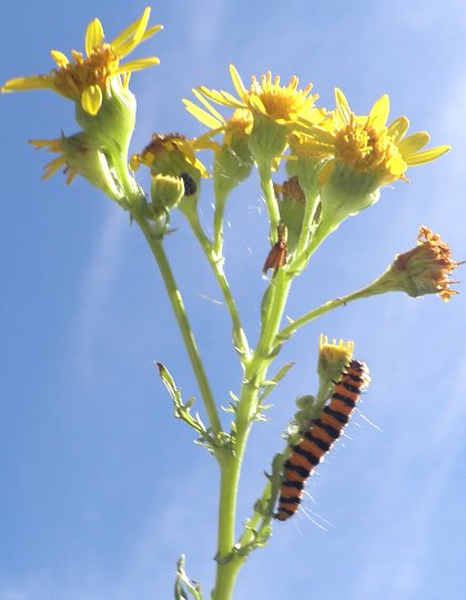 cinnabar caterpillars on ragwort, Senecio jacobaea