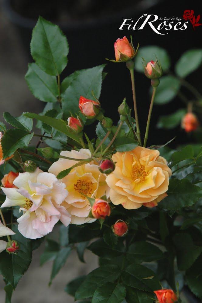 la passion des rosiers la p pini re fil roses calizia un rosier couvre sol qui vous comblera. Black Bedroom Furniture Sets. Home Design Ideas