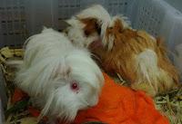 Guinea Pig sangat disukai di negara-negara Barat sebagai peliharaan