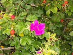 Beach Roses in August