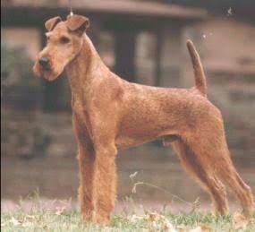 Irish Terrier Directory Breed