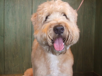 Pictures of Soft Coated Wheaten Terrier