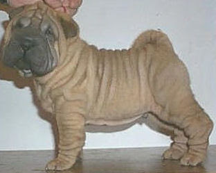 Look Chinese Shar-Pei Famous of Dog Breed!!!