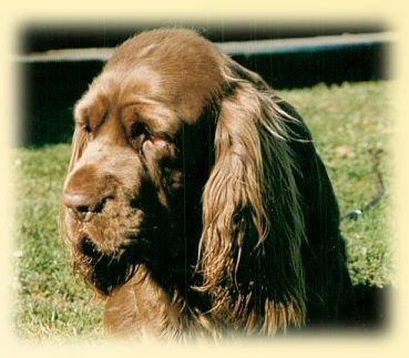 Sussex Spaniel Picture