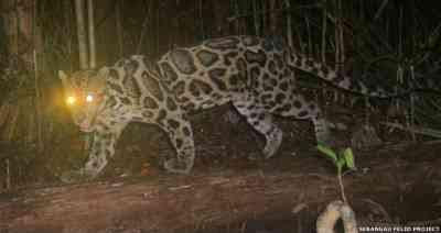 Sebangau Felid Project - Bornean Clouded Leopard (Neofelis diardi) 3/7/2008