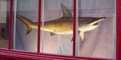 Eddie's Shark in the Stuckism International window (2003) A Dead Shark Isn't Art