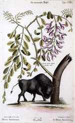 Marcus Catesby - Der Americanische Buffel (The American Buffalo) 1735