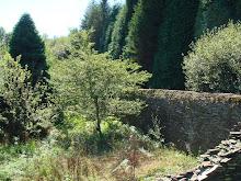Las altas coníferas desde el otro lado de la muralla*