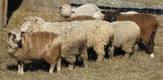 woolly sheep