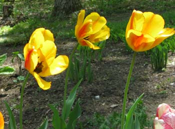 3 wind-blown tulips