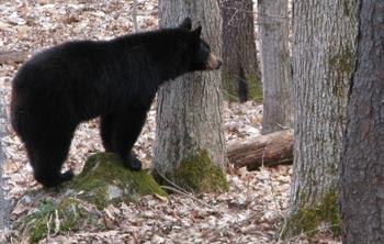bear MWS