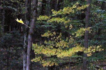 yellow maple leaf falling