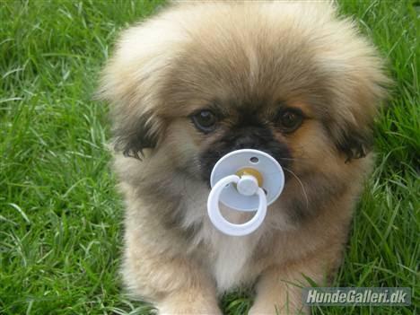 små hunderacer til salg