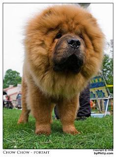 Chow Chow Lion Cut It's chow chow! but it looks