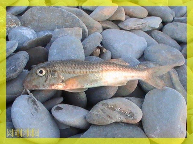 рыбалка на черноморскую барабульку