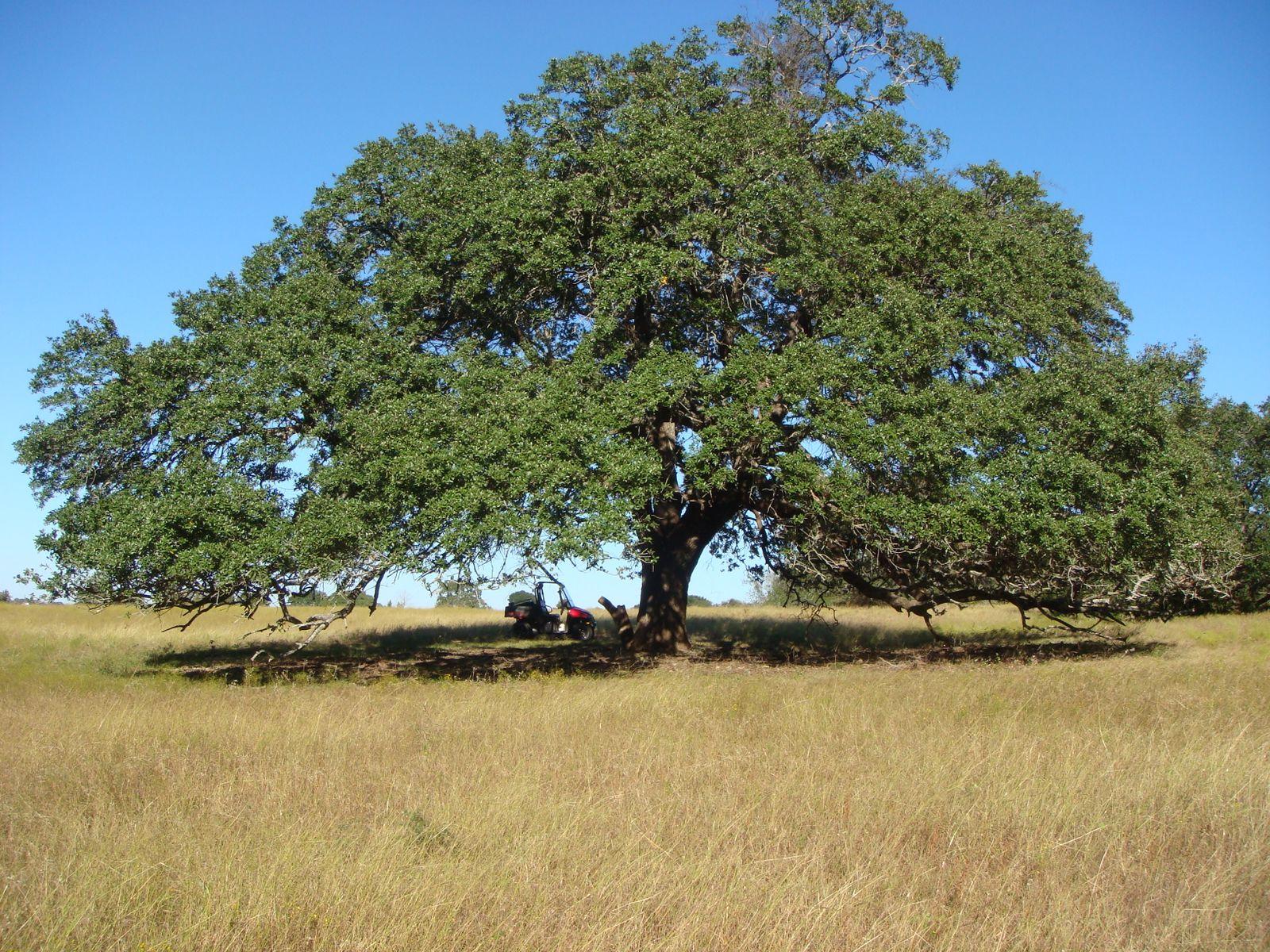 Mighty Live Oak Trees