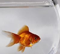 La memoria dei pesci rossi dura 3 secondi? Falso!