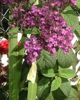 Heliotrope Fresh Flower