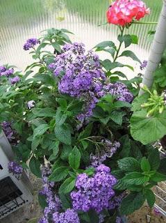 Wild Heliotrope Flower