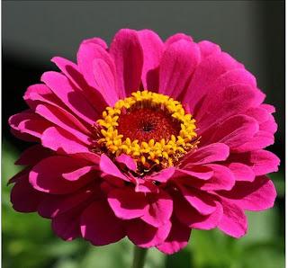 Exotic Zinnia Flower