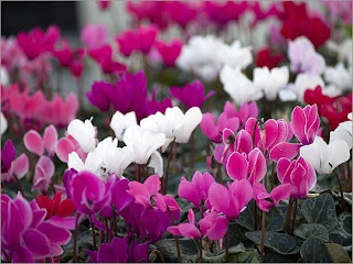 Cyclamen Flower Pictures