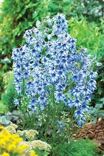 Pictures of Blue Delphinium Flower
