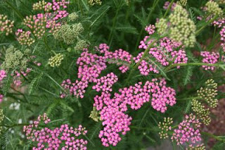 Pictures of Yarrow Flower