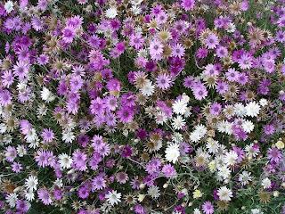 Xeranthemum Flowers Garden