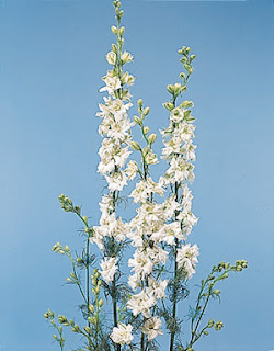 Exotic White Delphinium Flower