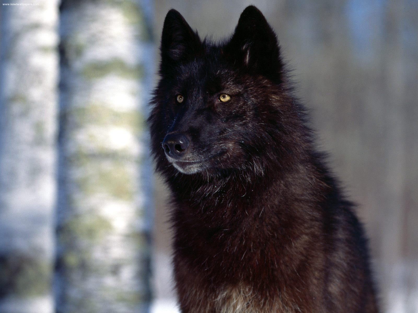 wolf in black and -#main