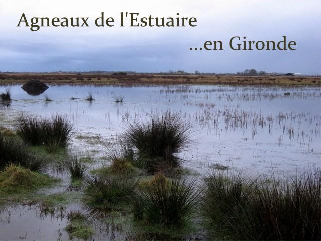 Agneaux de l'Estuaire ...en Gironde