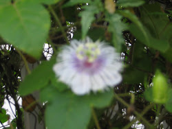 Passiflora foetida L.